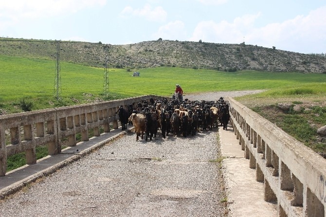 Kilis'te Hayvanlar İçerisinde En Fazla Koyun Bulunuyor
