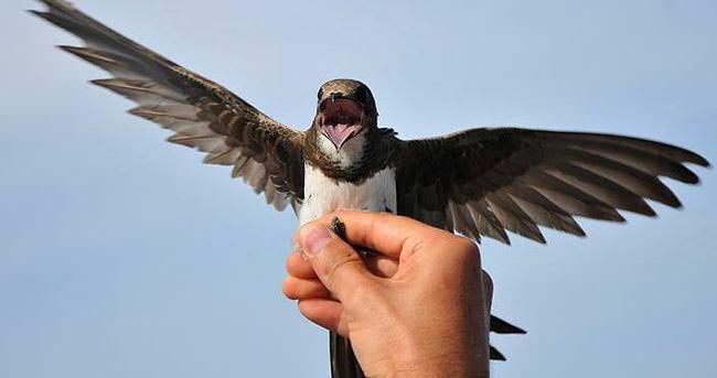 Bu kuşlar 10 günde 4 bin kilometre uçuyorlar