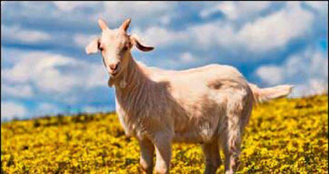 Büyükşehir'den damızlık keçi