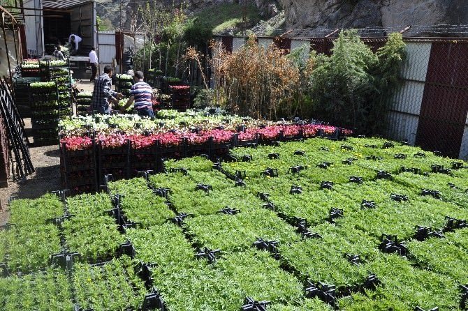 Gümüşhane Belediyesi Çiçek Dikim Çalışmalarına Başladı