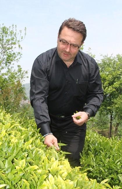 Çay Sektöründe Sistem Arayışı