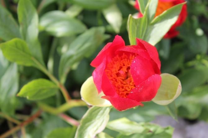 Dünyada Sadece İznik Gölünde Yetişen Kan Çiçekleri Açtı