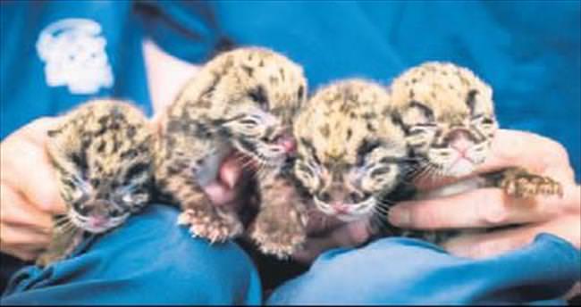 Dördüz yavru leopar sevinci
