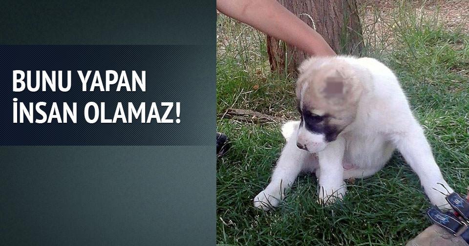 Yavru köpeğin kulaklarını kestiler