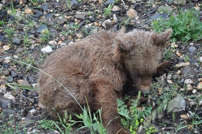Yenice'de Yaralı Yavru Ayı Bulundu