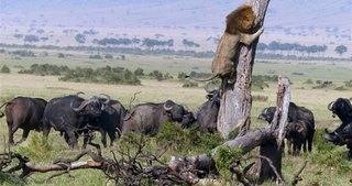 Aslan neye uğradığını şaşırdı