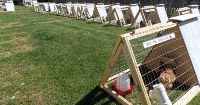 Kanada'da kiralık tavuk uygulaması