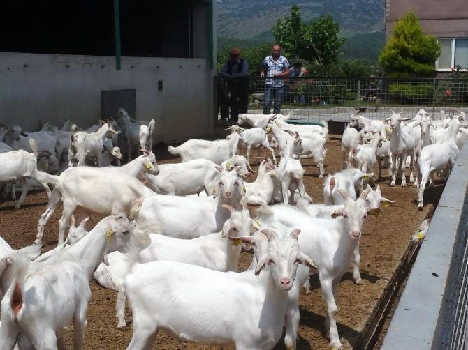 Yunusemre'de Üreticilere Oğlak Dağıtıldı