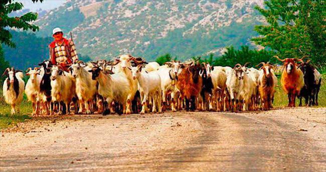 Çobanlar köyüne geri dönsün diye