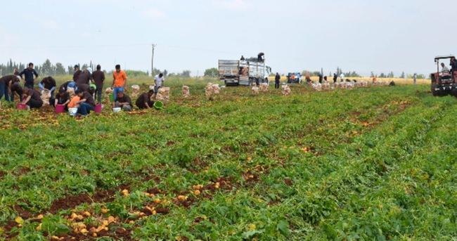 Hükümlüler 60 ton patates üretti
