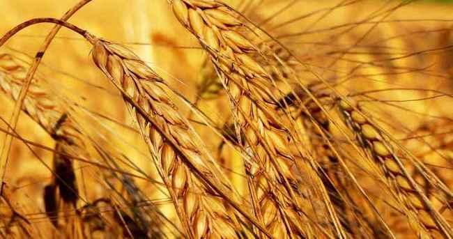 Uşak Ticaret Borsası'nda buğday fiyatları