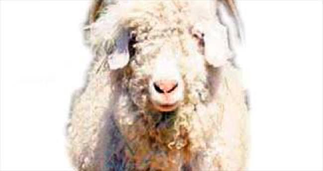 Ankara keçisi değerlenecek