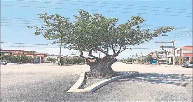Asırlık dut ağacı yolu ikiye böldü