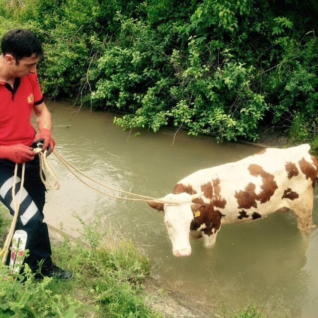 Su Kanalına Düşen İneği İtfaiyeciler Kurtardı