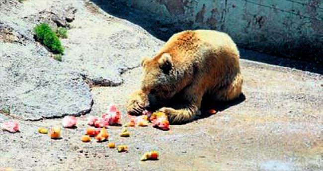 Ayıları serinletmek için meyve kokteyli