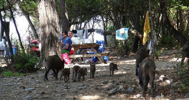 Yaban domuzları piknik alanlarına indi