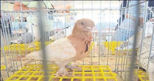 Akhisar'da en güzel güvercinler seçildi
