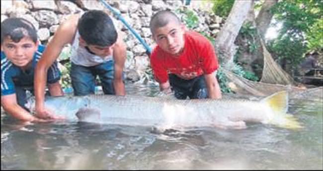 Zap Suyu'nda 60 kilogramlık balık