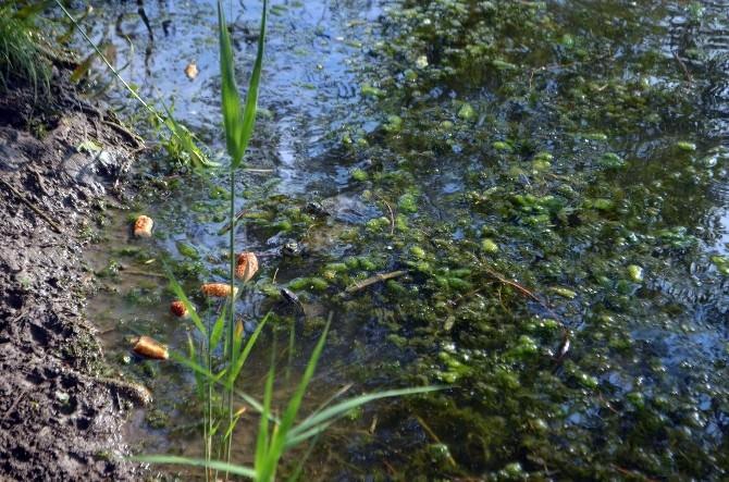 Köyceğiz'de Kuyruklu Su Kaplumbağaları Ölüyor