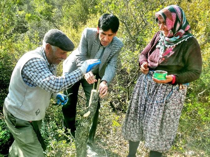 Bucak'ta 40 Dekar Alanda 16 Bin Yabani Zeytin Ağacı Aşılandı
