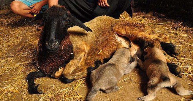 Köpek yavrularına koyun annelik yapıyor