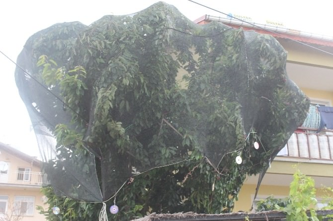 Bahçedeki Kirazlara Fileli Koruma