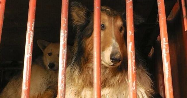 Festival için 40 bin köpek kestiler