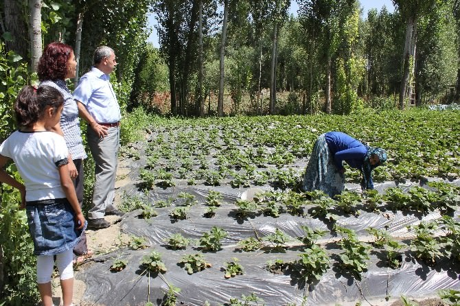 Muş'ta Çilek Bahçelerine Bir Yenisi Daha Eklendi