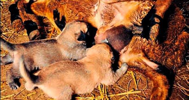 Kangal yavrularını koyun emziriyor