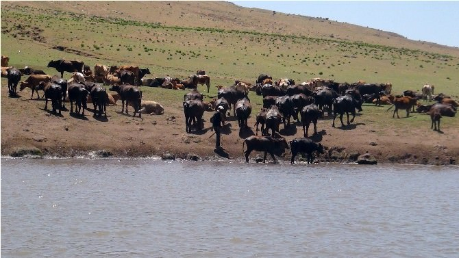 Sıcaklardan Bunalan Hayvanlar Gölette Serinletiliyor