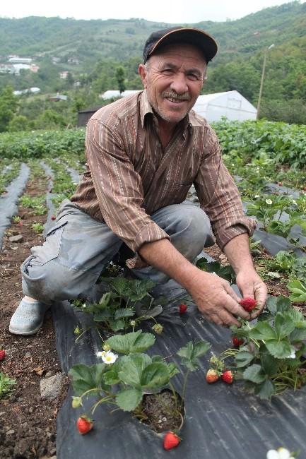 Trabzon'da Çilek Yetiştiriciliği Gelişiyor