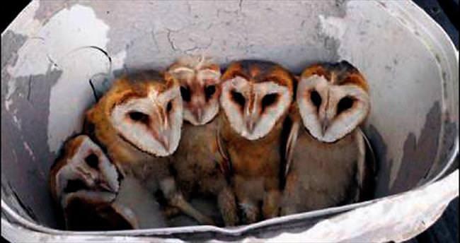 Terasta 5 yavru baykuş bulundu