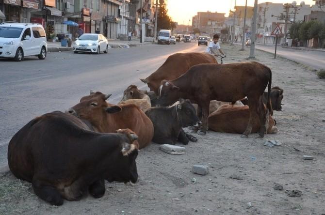 Silopi'de Başıboş Hayvanlar İçin Çiftlik