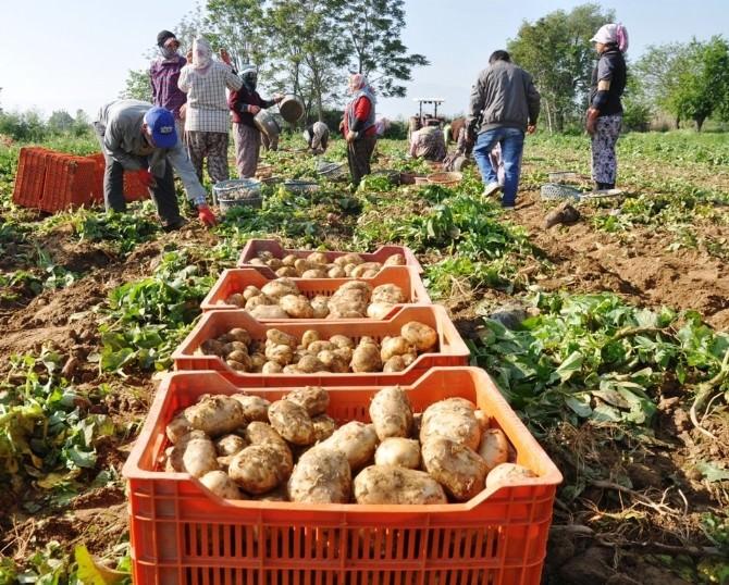 (Özel Haber) Patates Fiyatları Yeniden Yükselişe Geçti