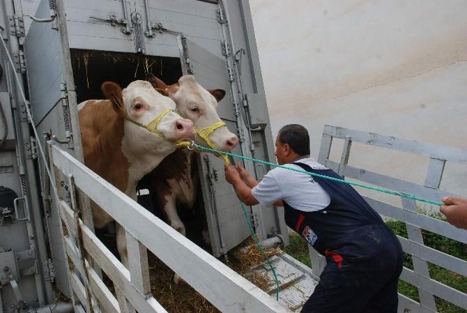 Avusturya'dan Tokat'a 275 Adet Gebe Düve İthal Edildi
