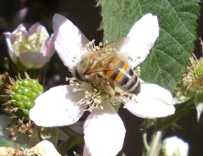 Arılarda Bu Hastalığın Çaresi Yok