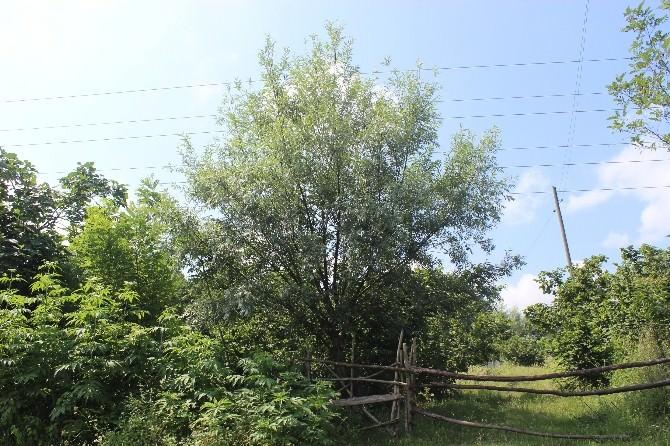 Söğüt Ve Kavak Ağaçları Tarımsal Üretimi Tehdit Ediyor