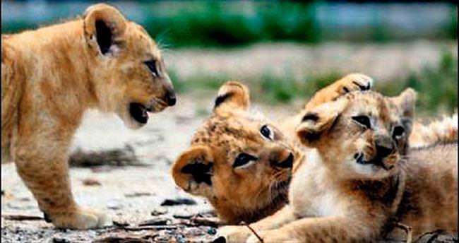 Atlas, Kibo ve Şani ilk kez basın önünde