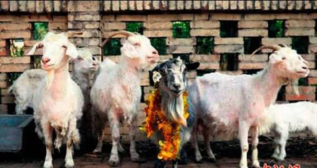 Klonlanmış keçi 15 yaşına girdi