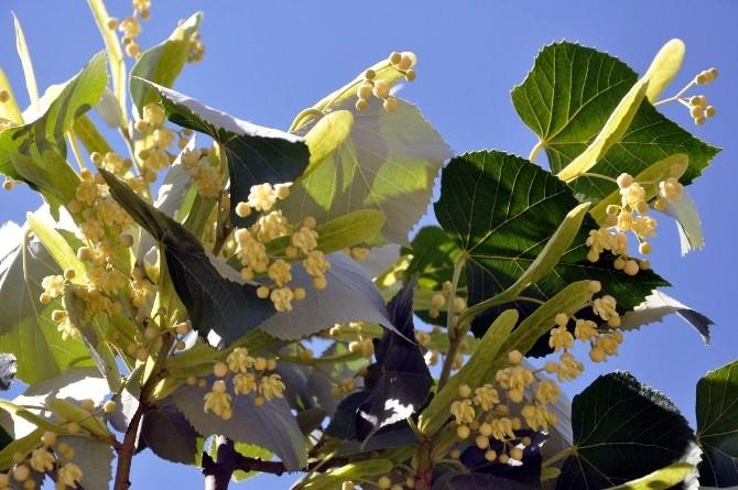 Isparta'da Ihlamur Ağaçları Çiçek Açtı