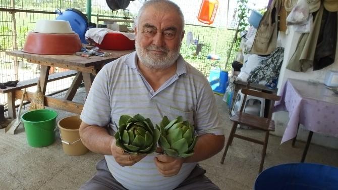 Burhaniyeli Çiftçi Her Mevsim Enginar Satıyor