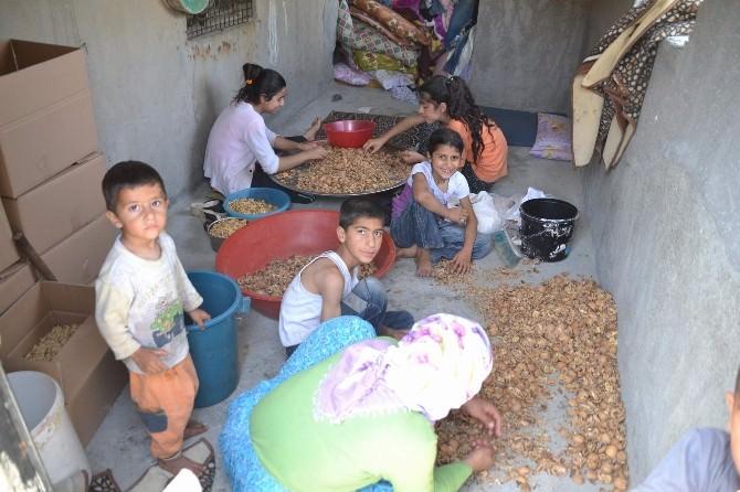 Ceviz Kabukları Kenar Mahallede Ekmek Parası