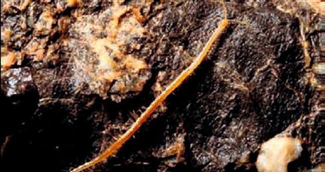 1100 metre derinde yaşayan kırkayak