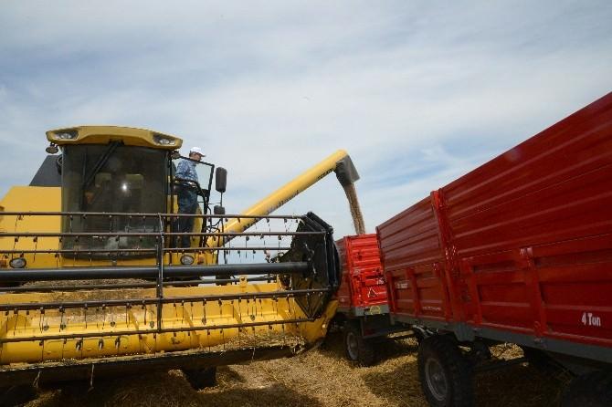 Belediye Başkanı Buğday Hasadı Yaptı