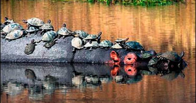 Kaplumbağaları sırtında gezdirdi