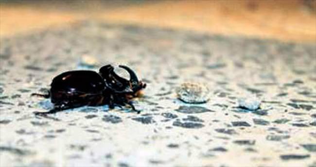 En güçlü böcek Mamak'tan çıktı