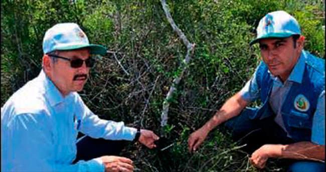 Mersin'de yaban zeytinleri aşılanıyor