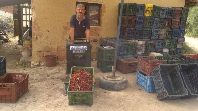 Hisarcık'ta Vişne Alımları 4 Yıl Önceki Fiyatların Altında Başladı