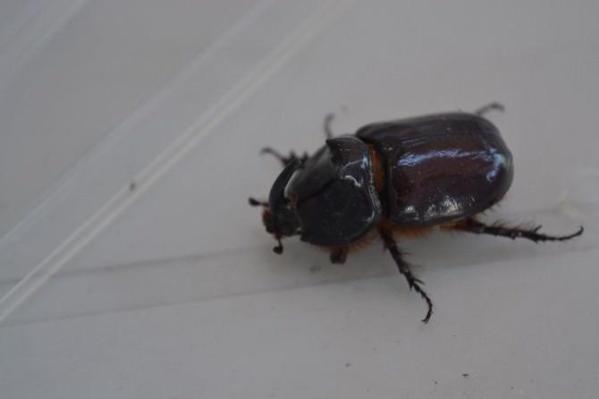 Alaplı'da Gergedan Böceği Bulundu