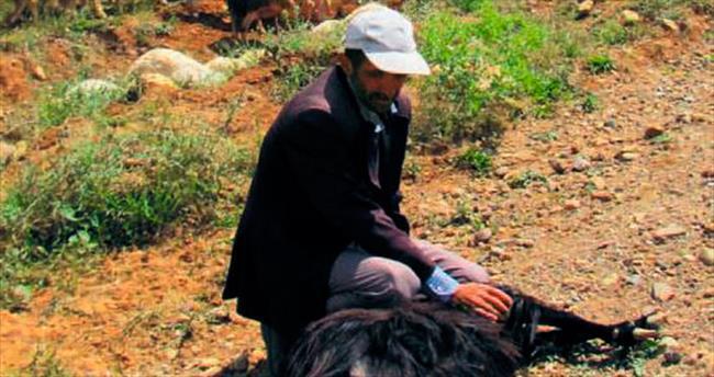 Aç kurt dağda unutulan sürüyle ziyafet çekti